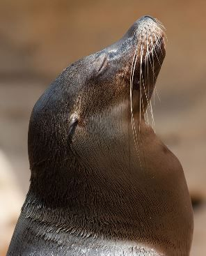 Sea_lion_head