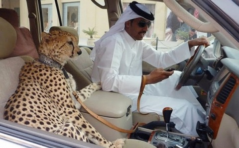 cheetah-qatar