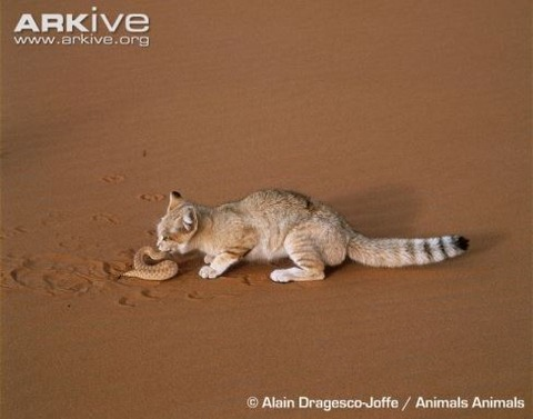 Sand-cat-feeding-on-viper