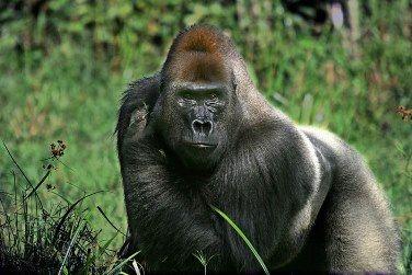 big-gorilla