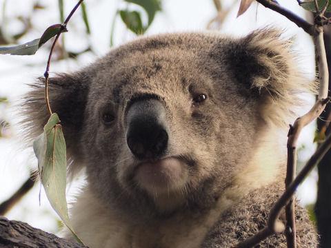 koala-1208916_1280