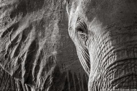 will-burrard-lucas-elephant-queen-16