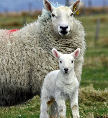 Cheviot_ewe_and_lamb