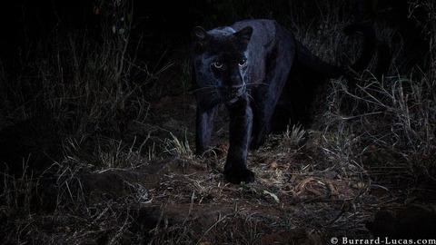 _105626716_willbl-black-leopard-1