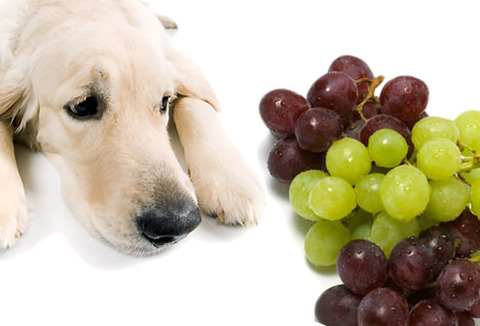 dogs-and-grapes