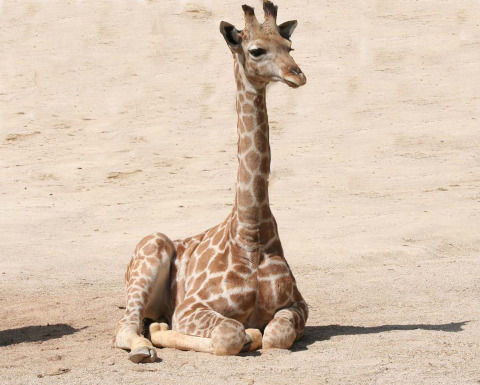 giraffe-1024589_1280