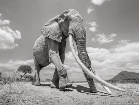 will-burrard-lucas-elephant-queen-1