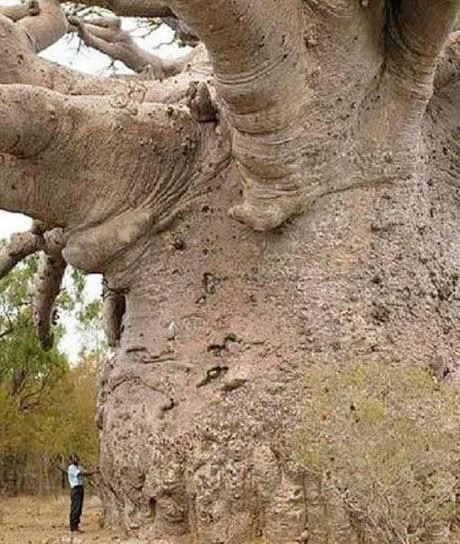 baobab_tree_is_a_wonder_of_natu