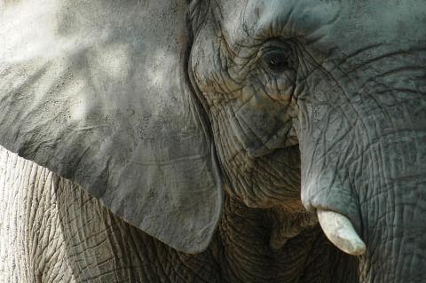 elephant-4227046_1280