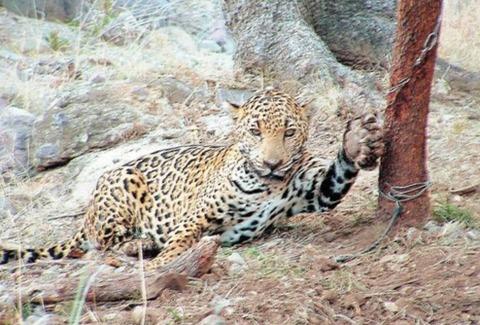 JaguarInfographic5