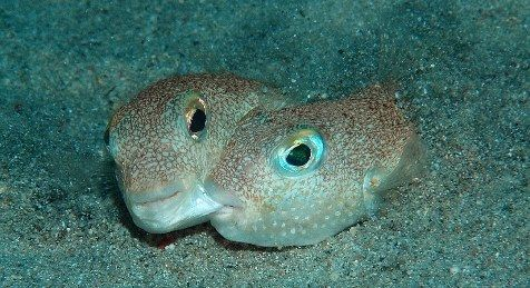 28EDB67F00000578-3090663-The_male_pufferfish_shown_ri