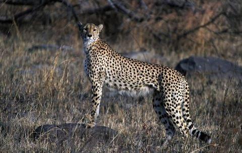 1024px-Cheetah_