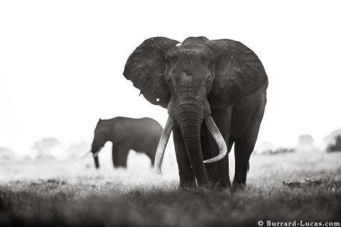 will-burrard-lucas-elephant-queen-13