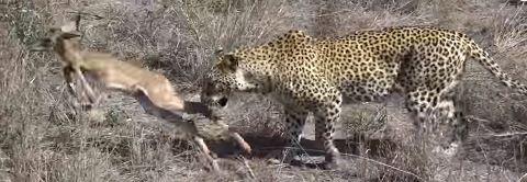 leopard25