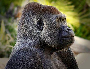 gorilla-profile