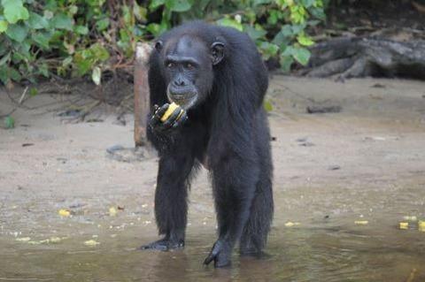 chimpa12