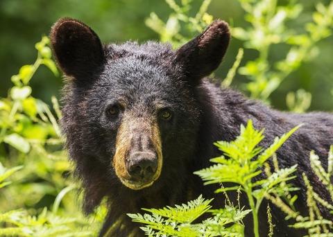 black-bear-1611349_1280