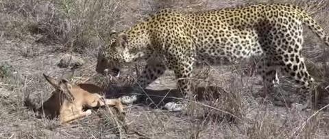 leopard24