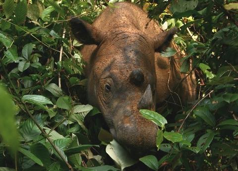 Sumatran_Rhinoceros_Way_Kambas_2008