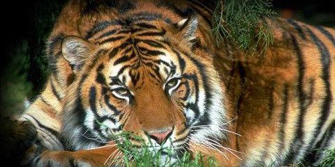 South_China_tiger