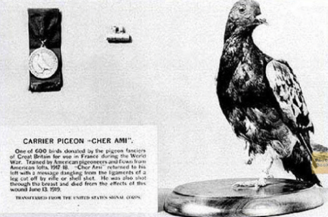 carrier-pigeon-cher-am