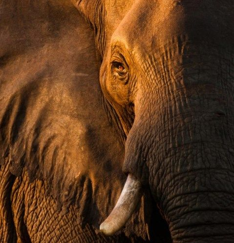 Elephant_Af