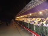 天満宮の菊2