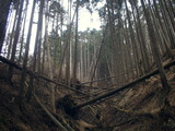 倒壊している杉林