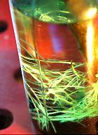 ドラセナの根