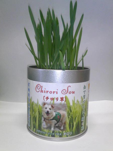 チロリ草咲いてます