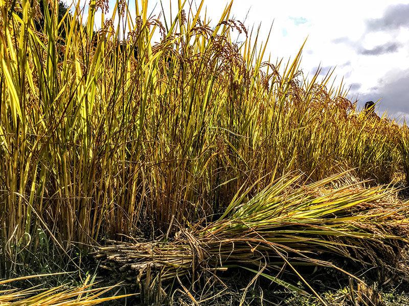 田んぼで迷路を作るのが、毎年の恒例