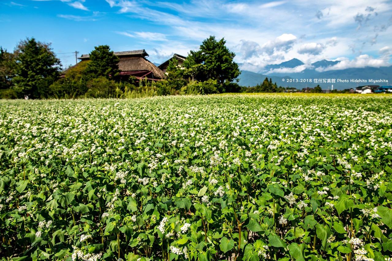 蕎麦の花と茅葺