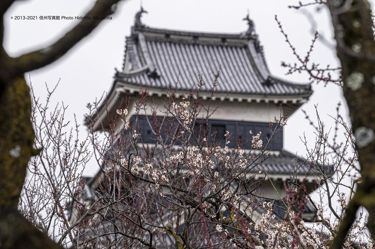 梅と松本城_20210307-DSC_6712
