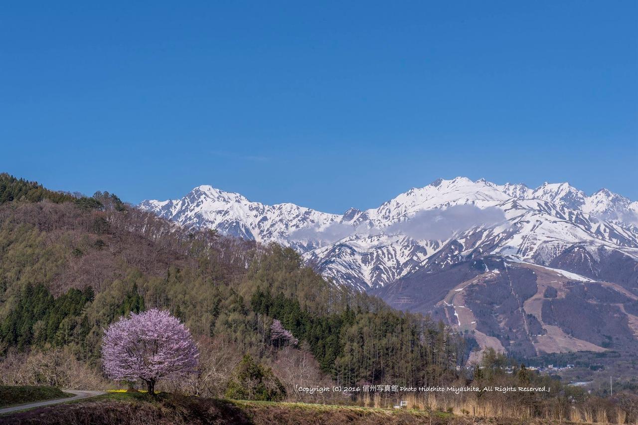 一本桜のある風景