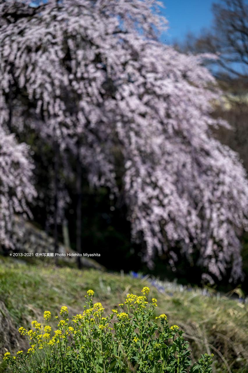 菜の花と…_20210326-DSC_8228