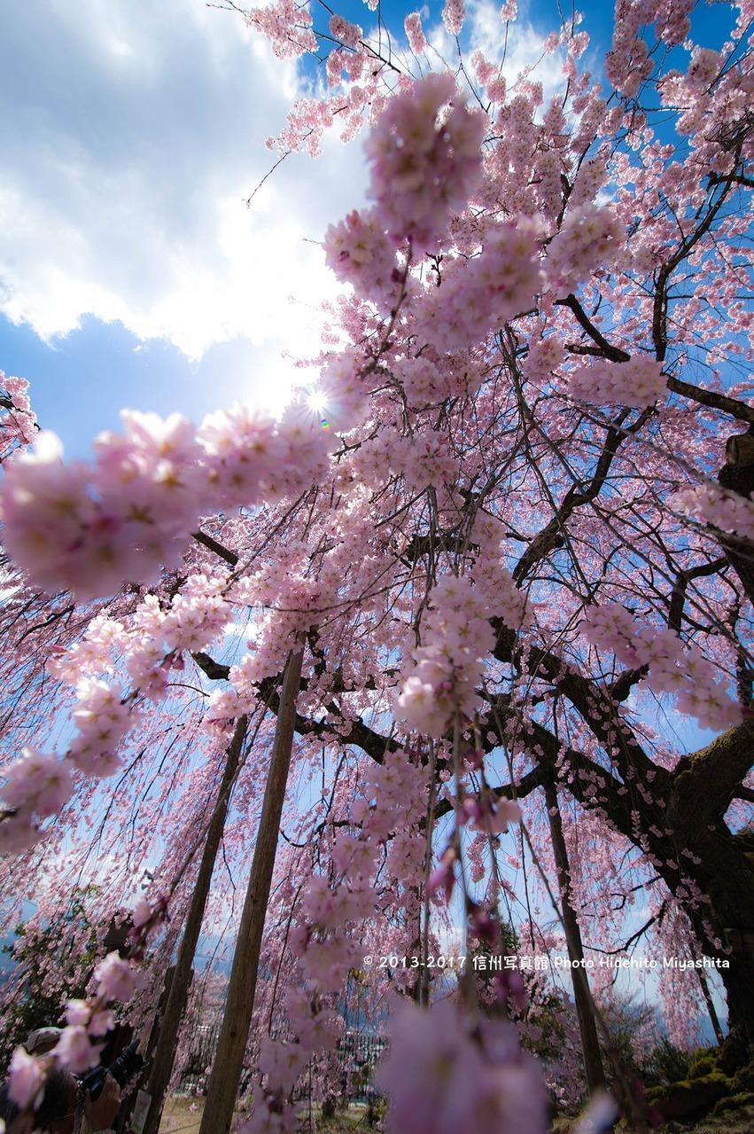 麻績の里舞台桜 2017…