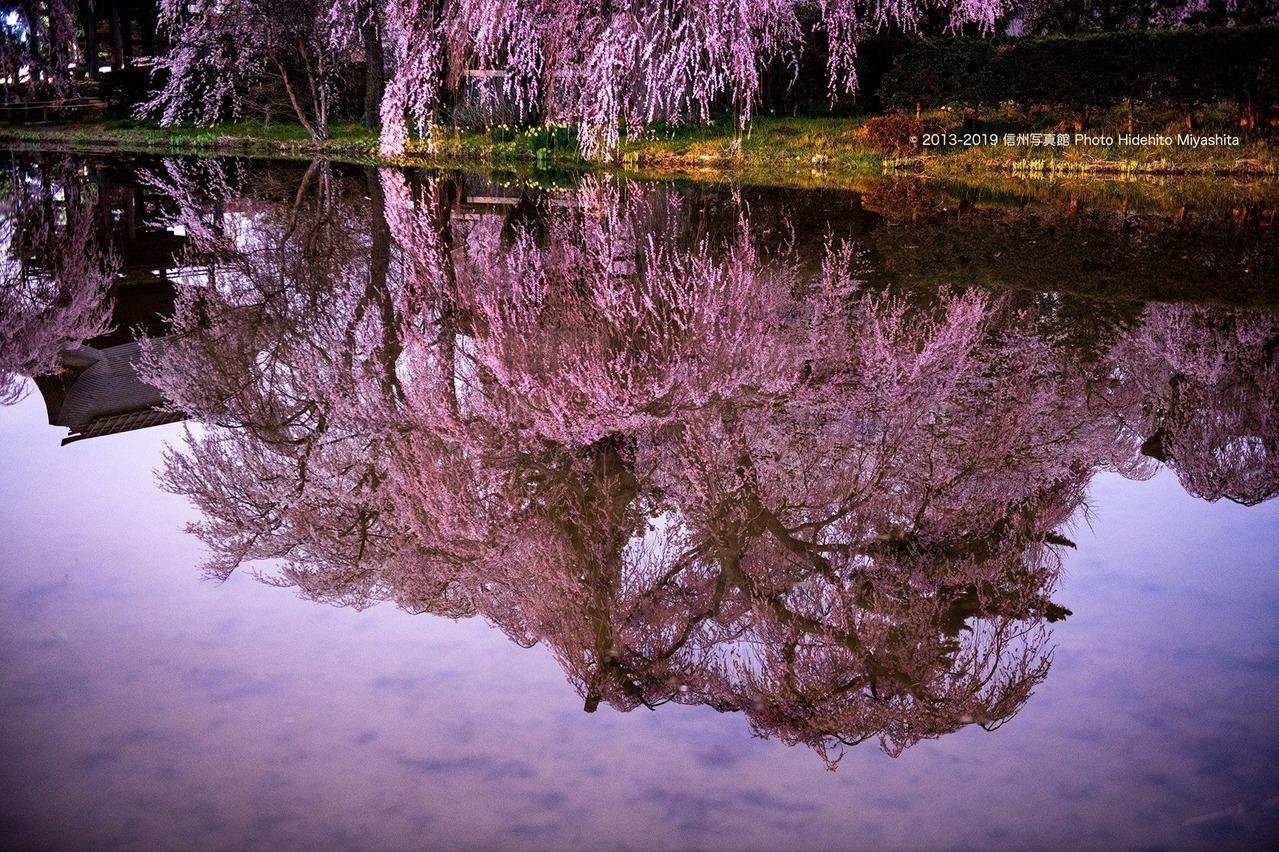 水の中のしだれ桜
