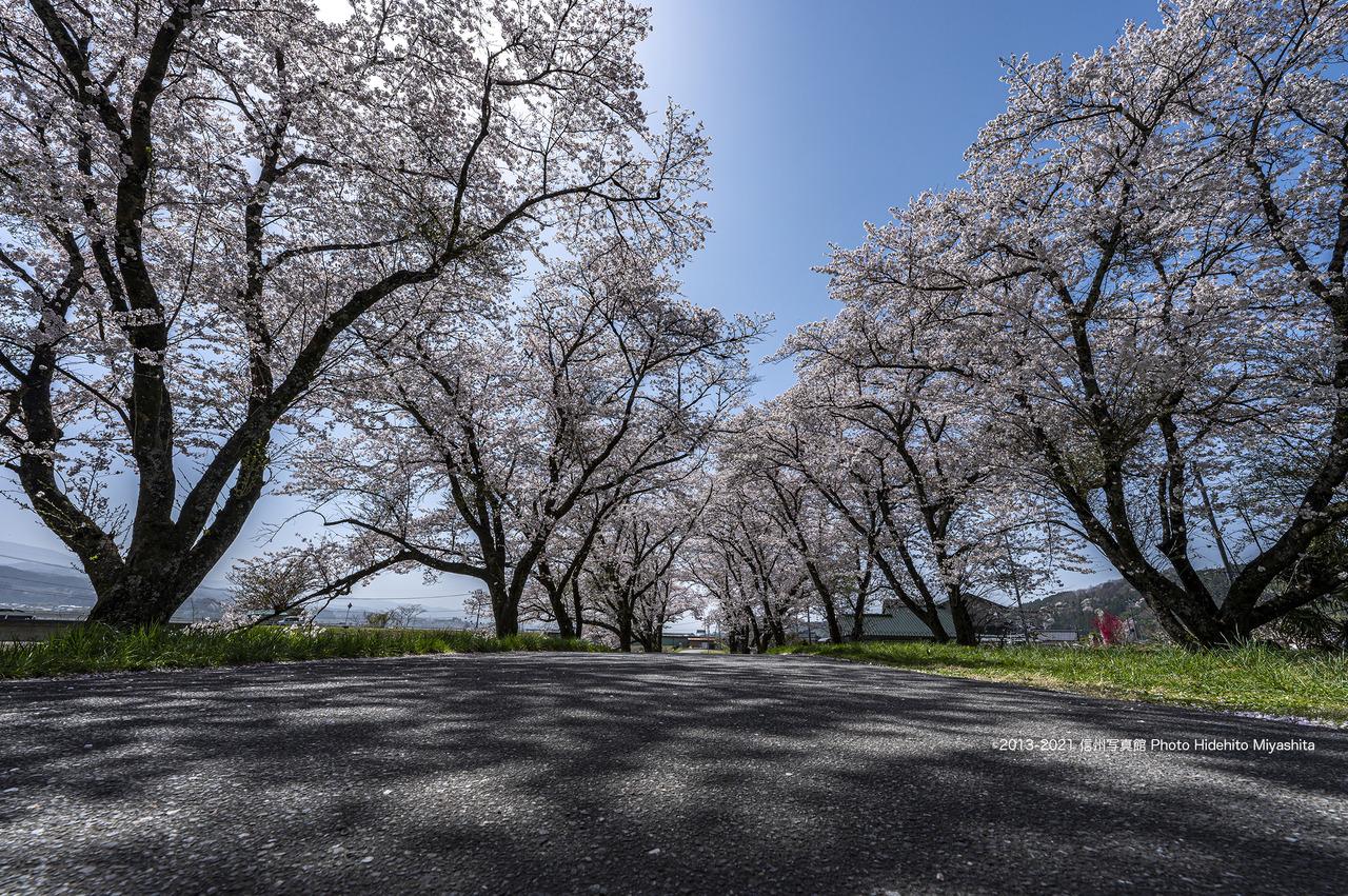 桜並木_20210331-_DSC4807