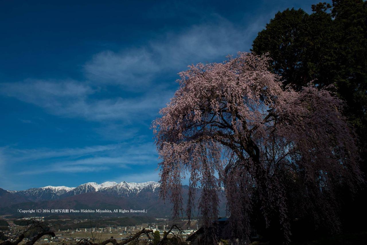 吉瀬の桜と中央アルプス