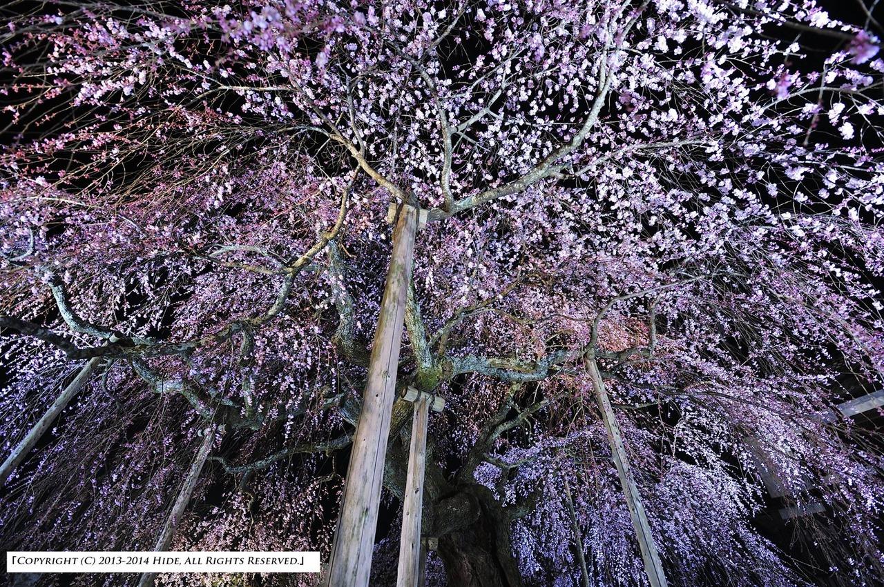 麻績の郷 舞台桜