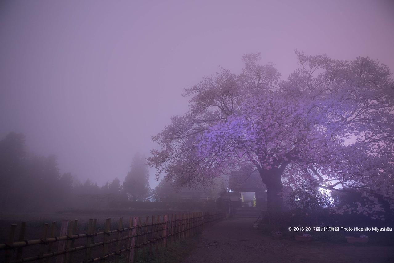 霧に包まれたさくら