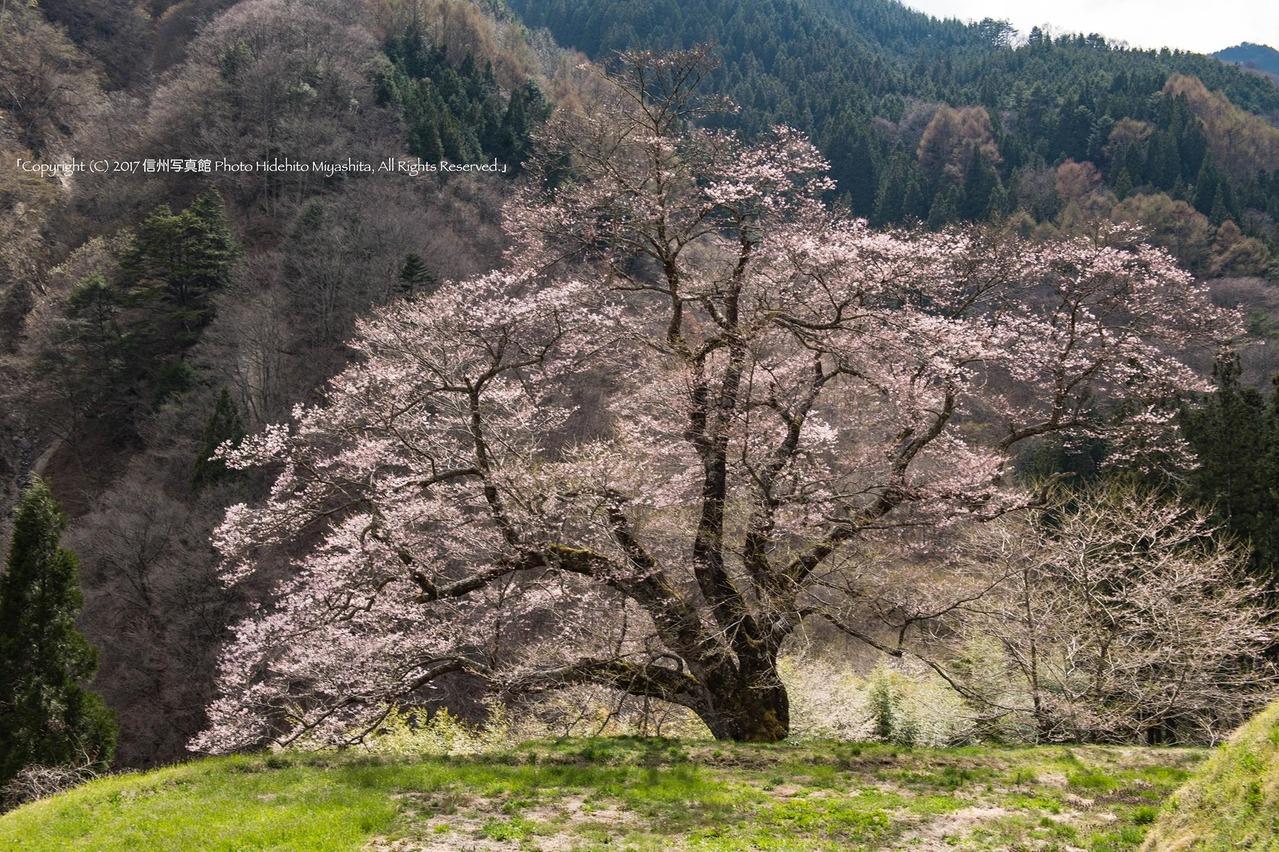 駒つなぎの桜 2017