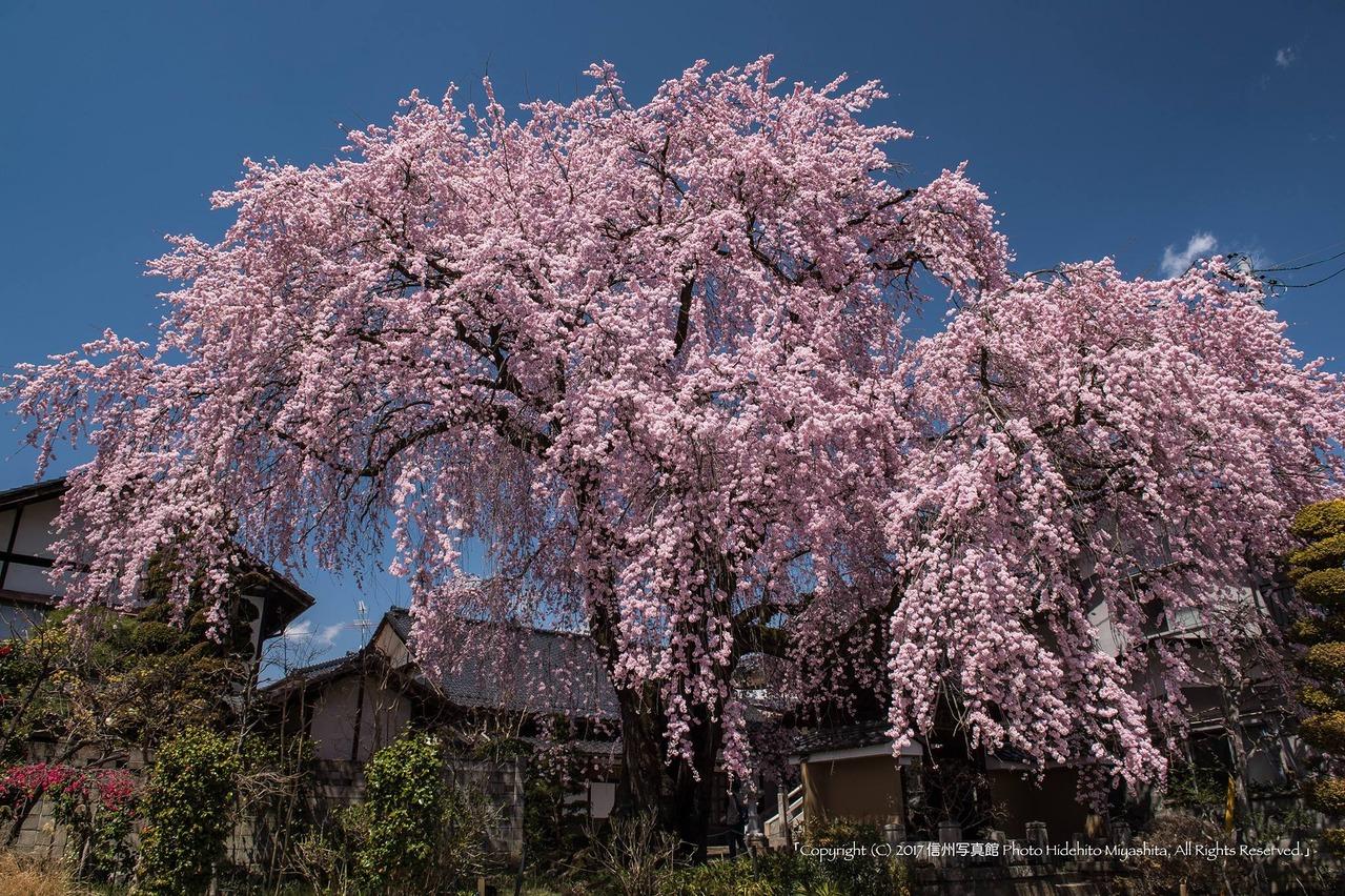 黄梅院のしだれ桜