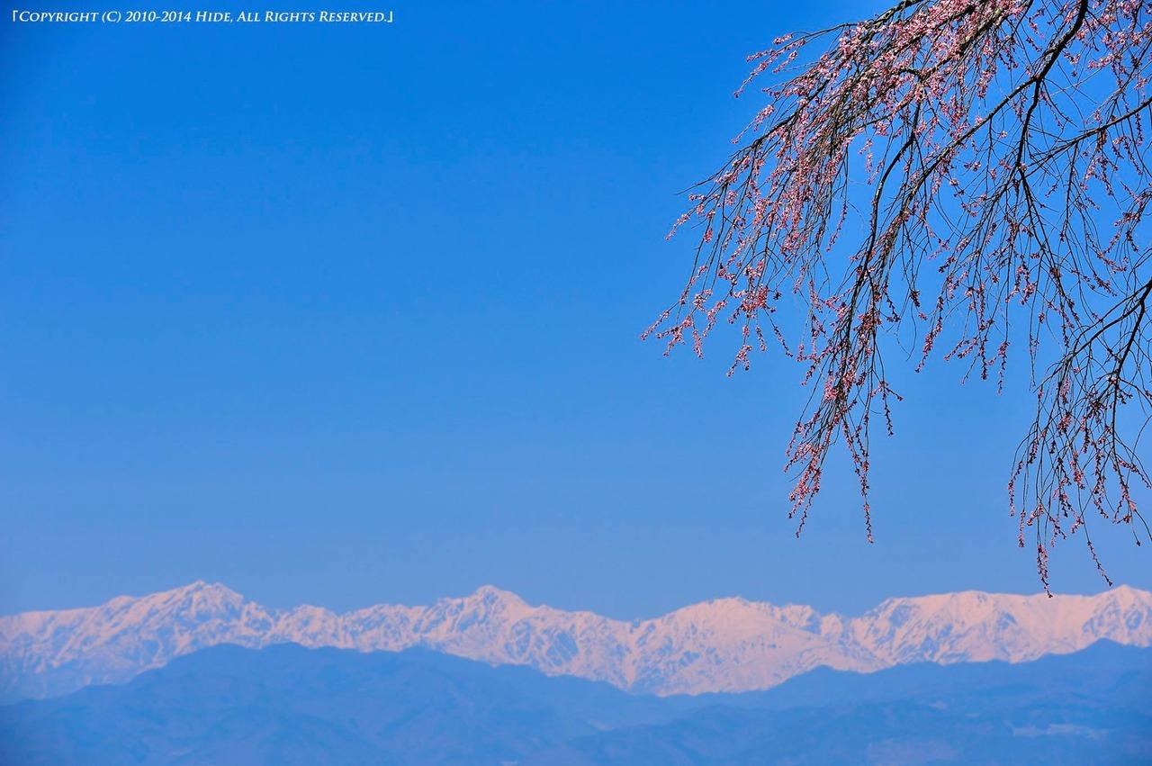桜と後立山