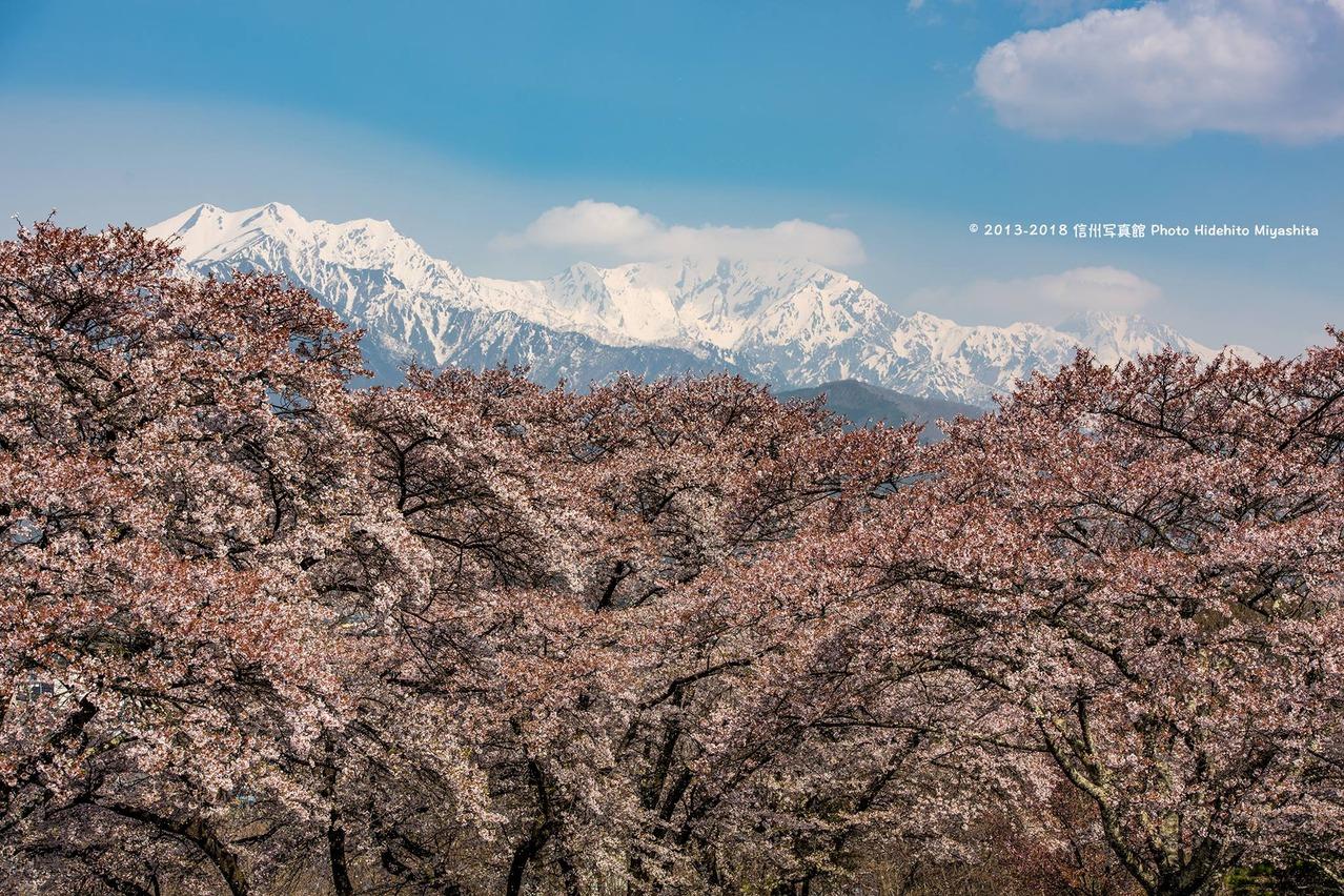 桜と仁科三山