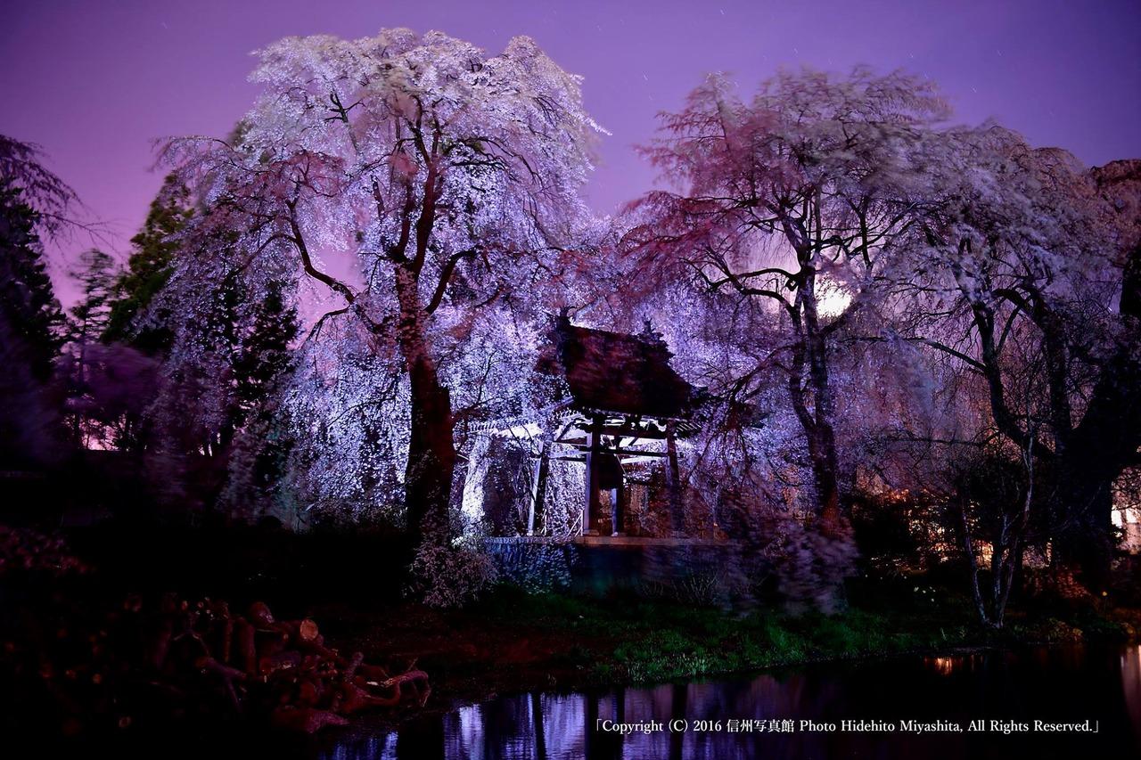 鐘楼堂の桜
