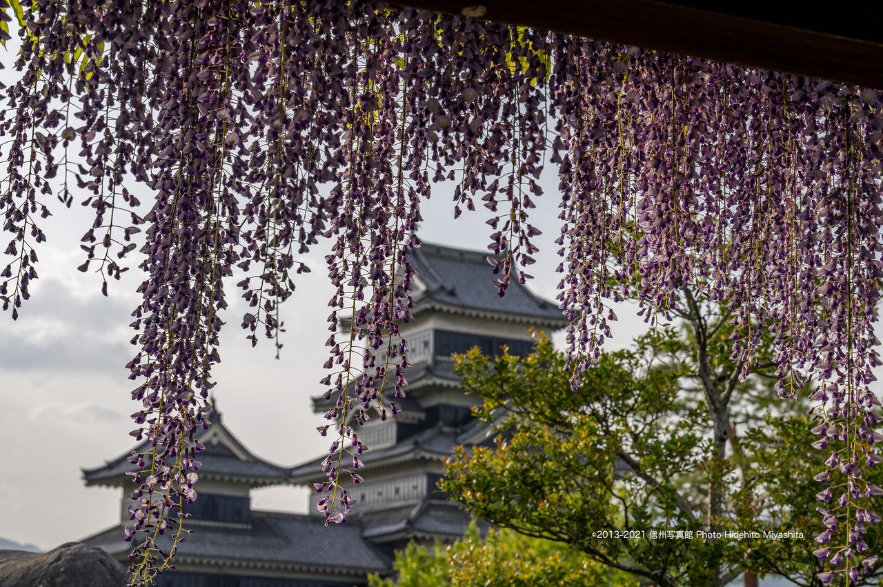 藤と松本城_20210509-DSC_1506