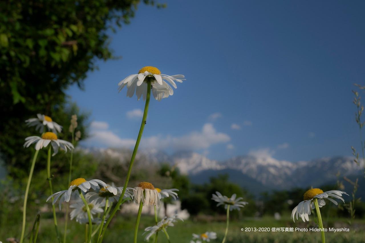 青空に向かって凛と咲く