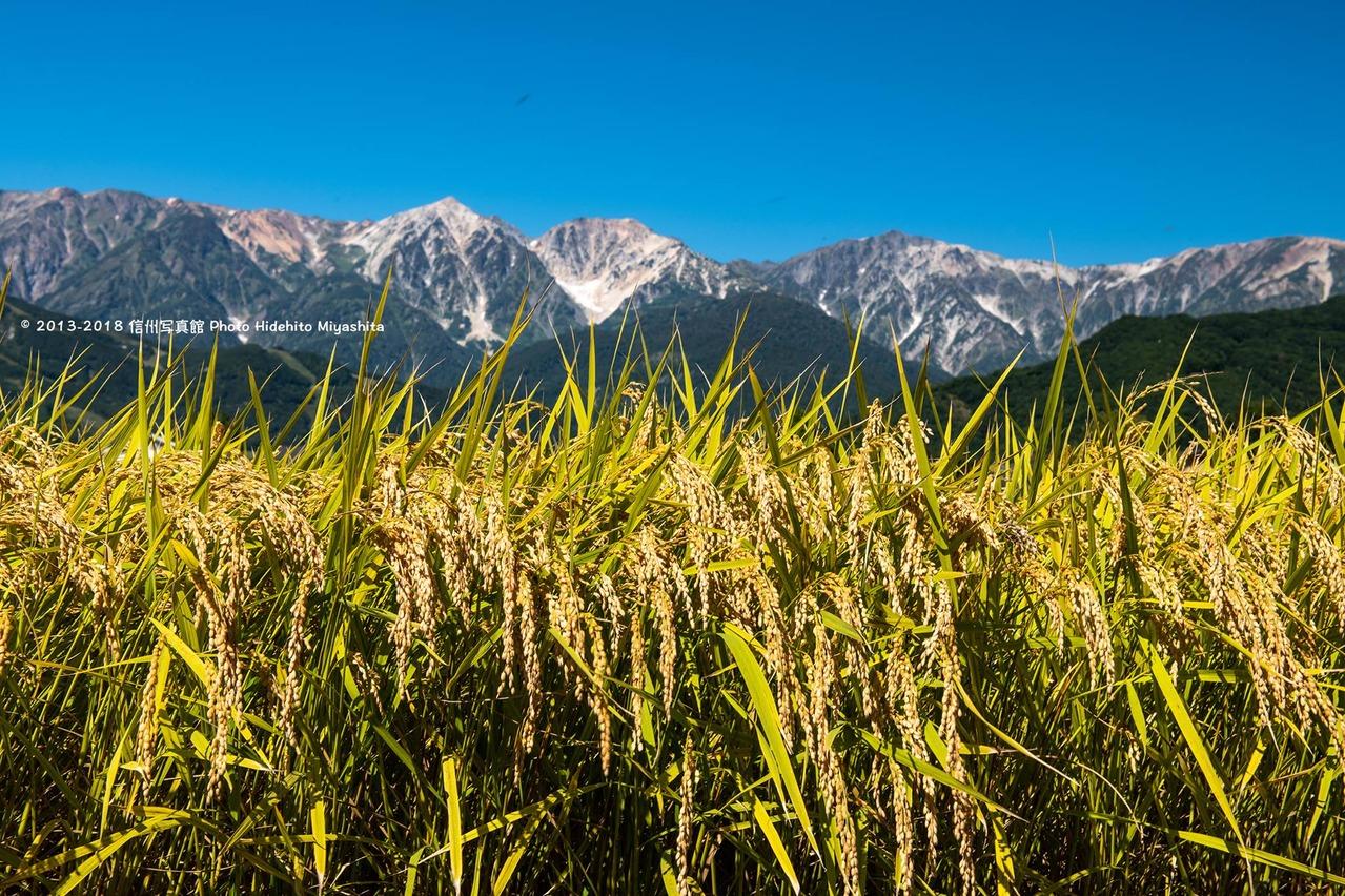 稲穂と白馬三山