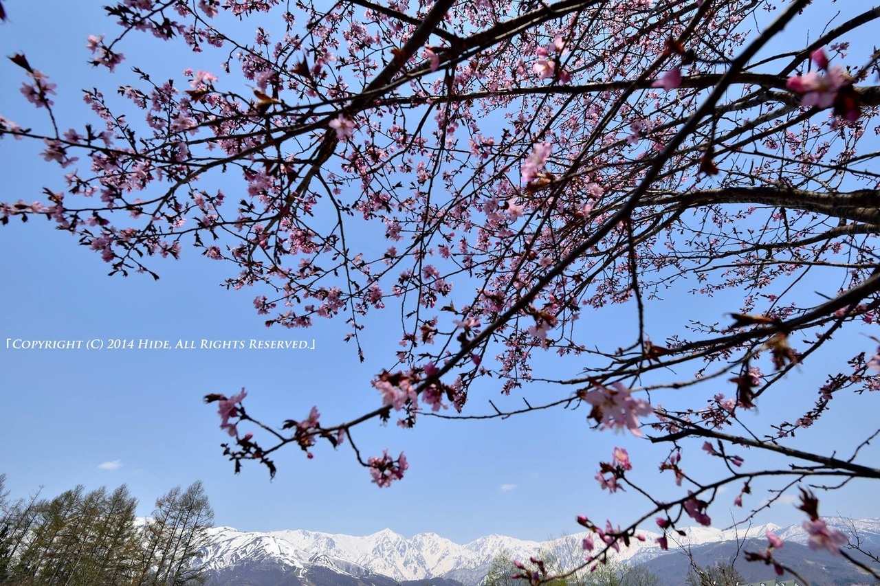 桜と白馬三山